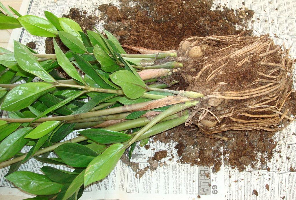 Растение замиокулькас. уход в домашних условиях