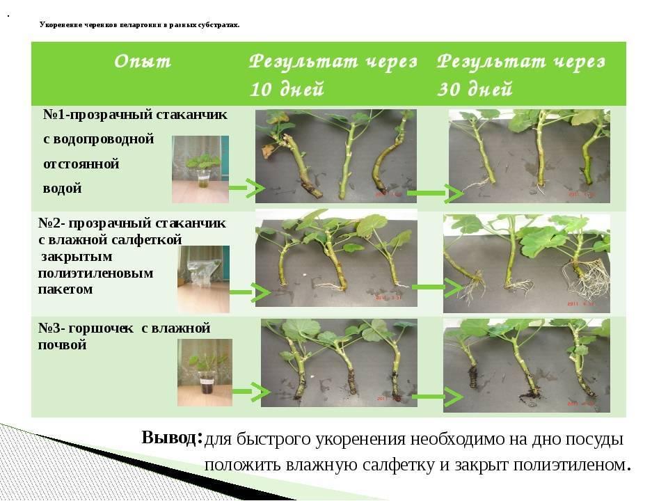 Петунии: размножение и укоренение черенков вегетативно весной или летом в воде