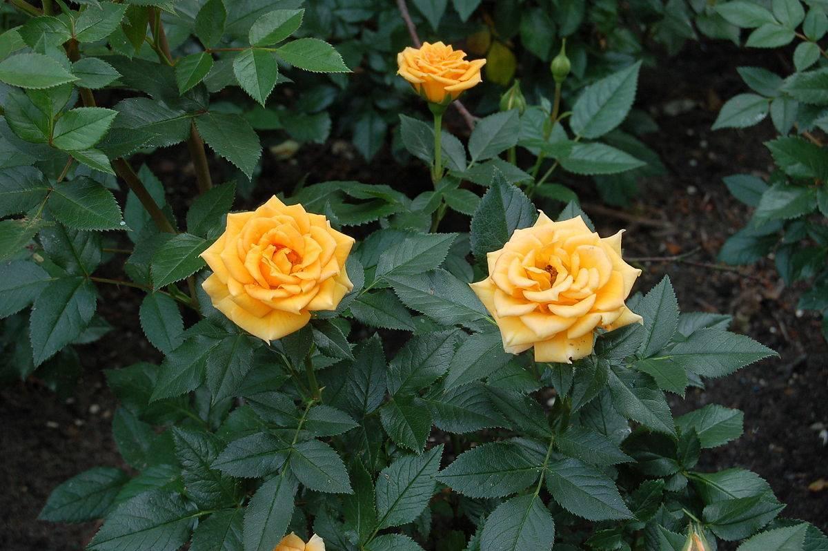 Суданская роза (розелла, каркаде) — что это такое