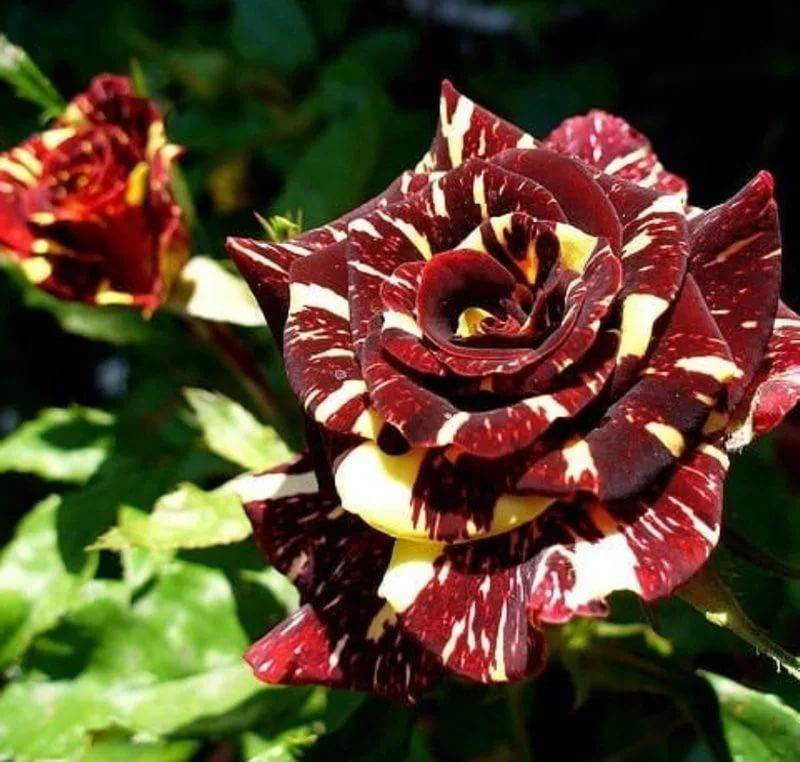 Роза изи даз ит - описание, агротехника | о розе
