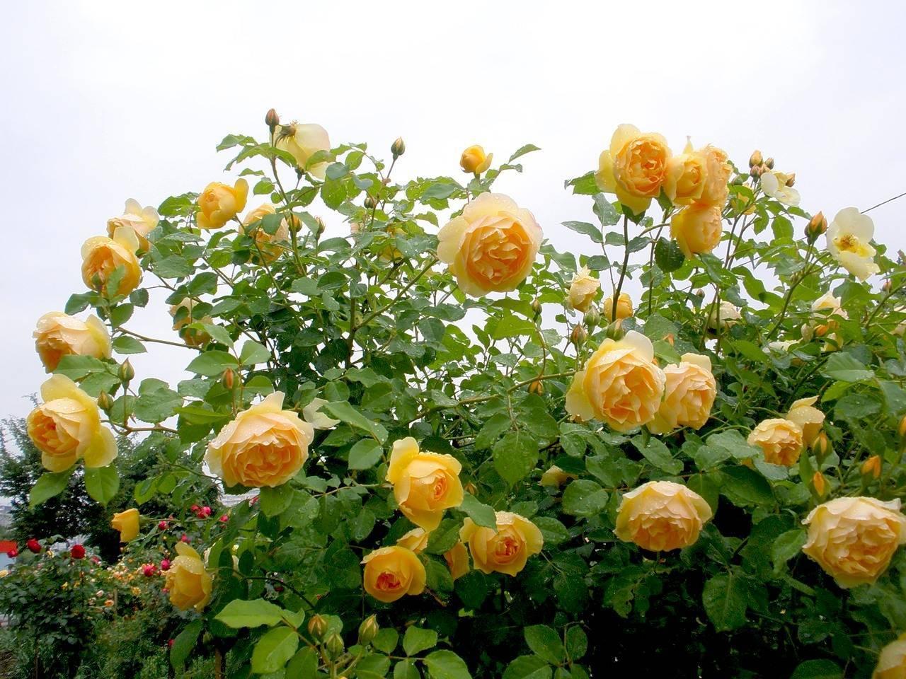 Как вырастить английские розы в холодном климате