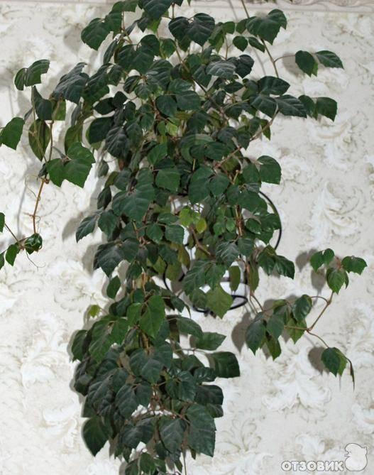 Комнатное растение березка или циссус: принципы ухода и способы размножения в домашних условиях