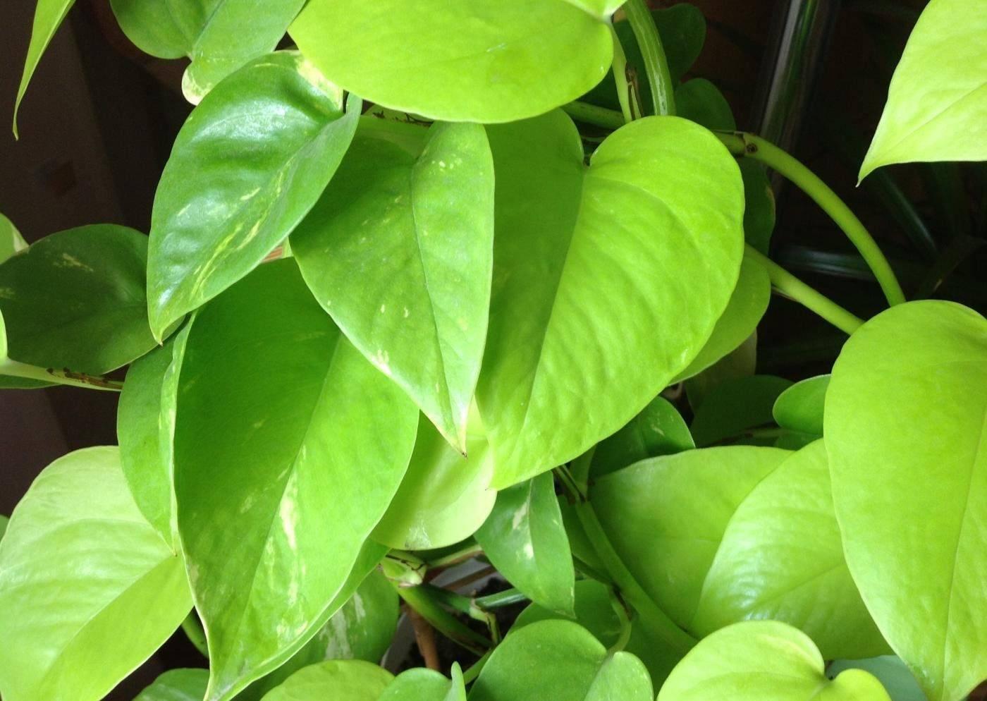 Цветок сциндапсус: уход в домашних условиях фото