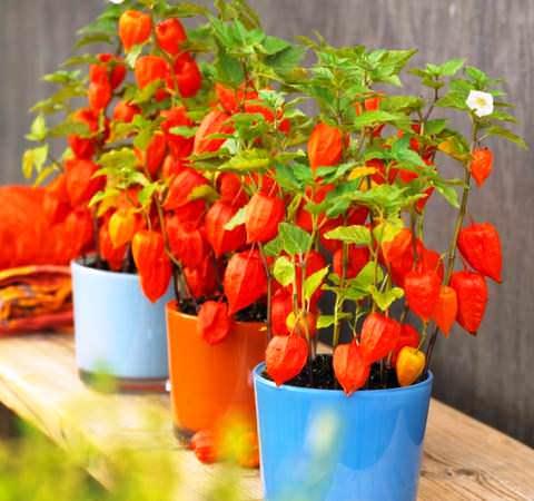 Цветы физалиса декоративного, его ягоды, как сажать многолетний физалис в открытый грунт