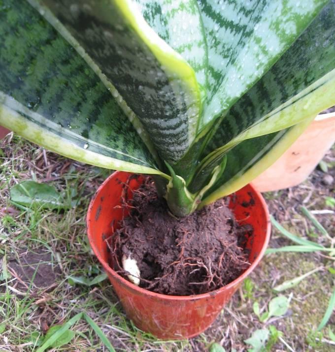 Враги сансевиерии: болезни и вредители цветка с фото. как спасти растение?
