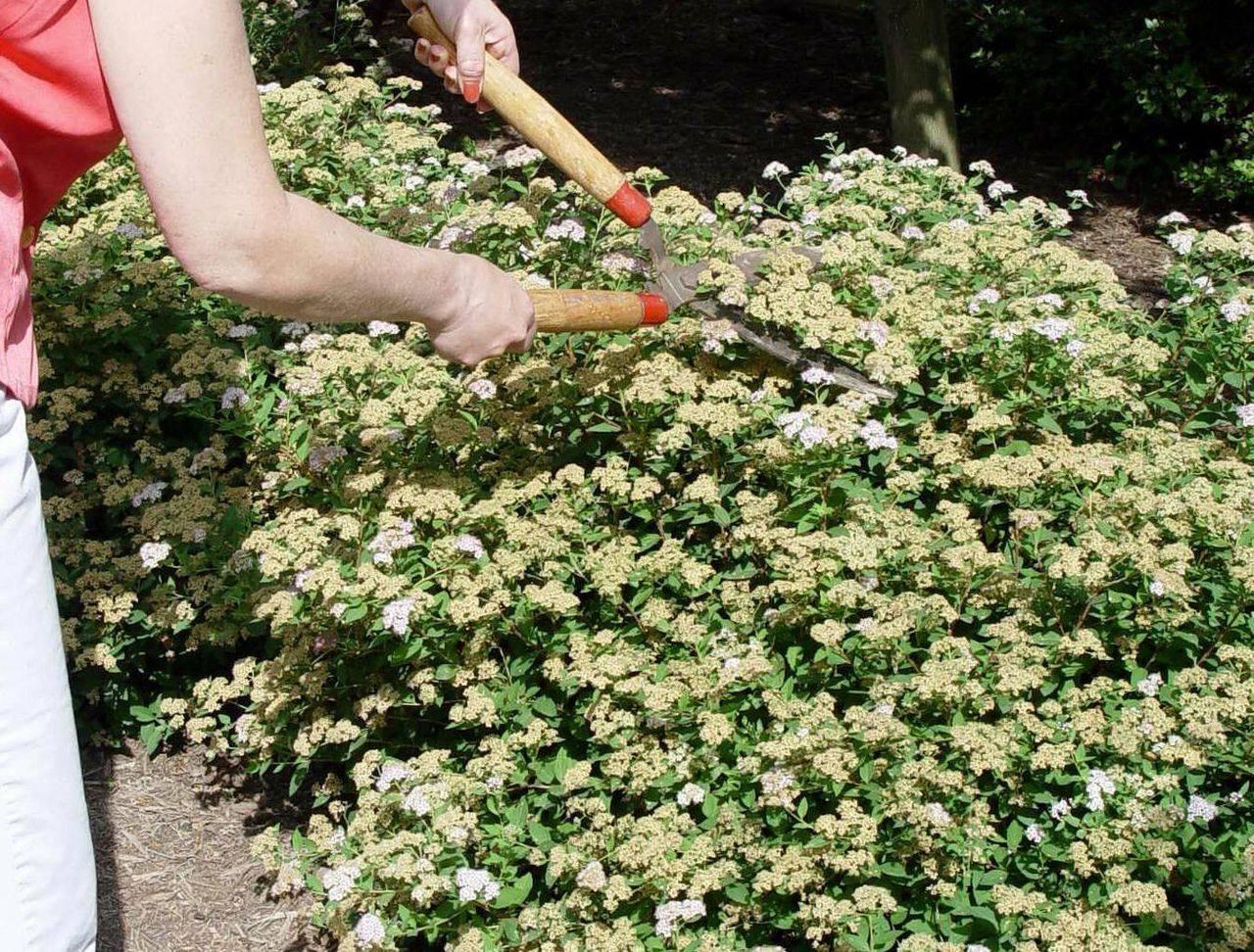 Когда пересаживать спирею: этапы пересадки на другое место летом в июле и осенью. как пересадить взрослое растение?