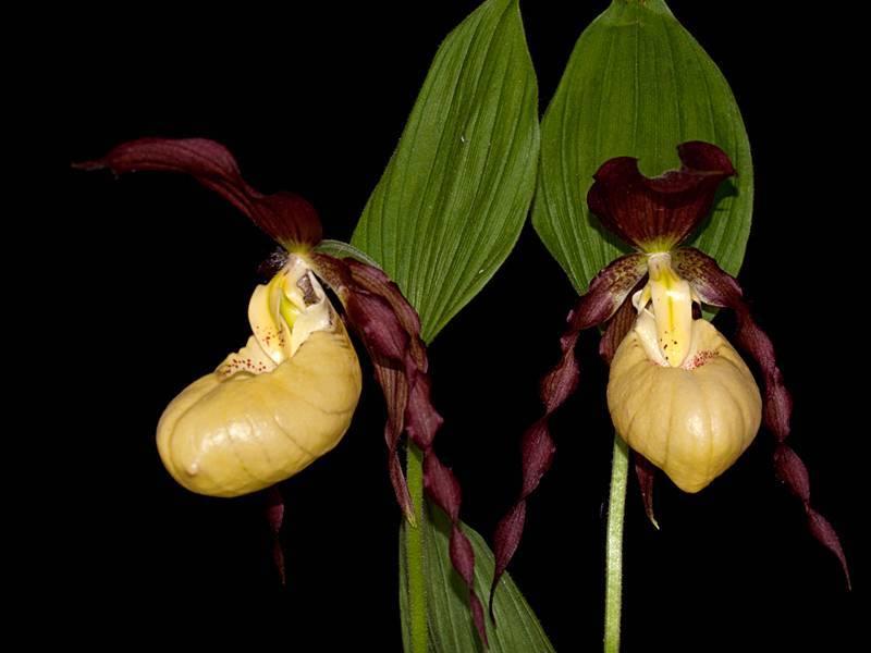 Способы размножения и особенности ухода за растением венерин башмачок