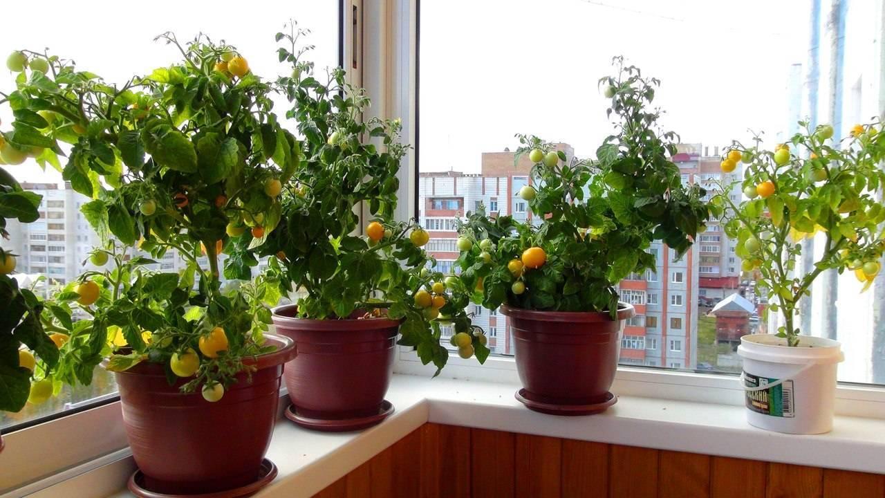 Как вырастить пионы на даче