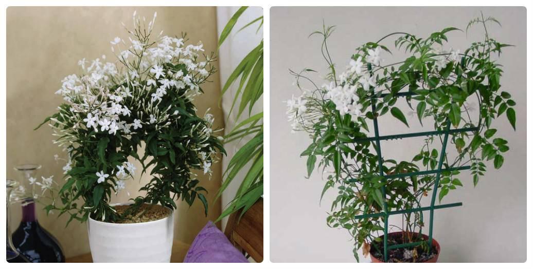 Уход за комнатным жасмином в домашних условиях: сколько цветет, как размножить