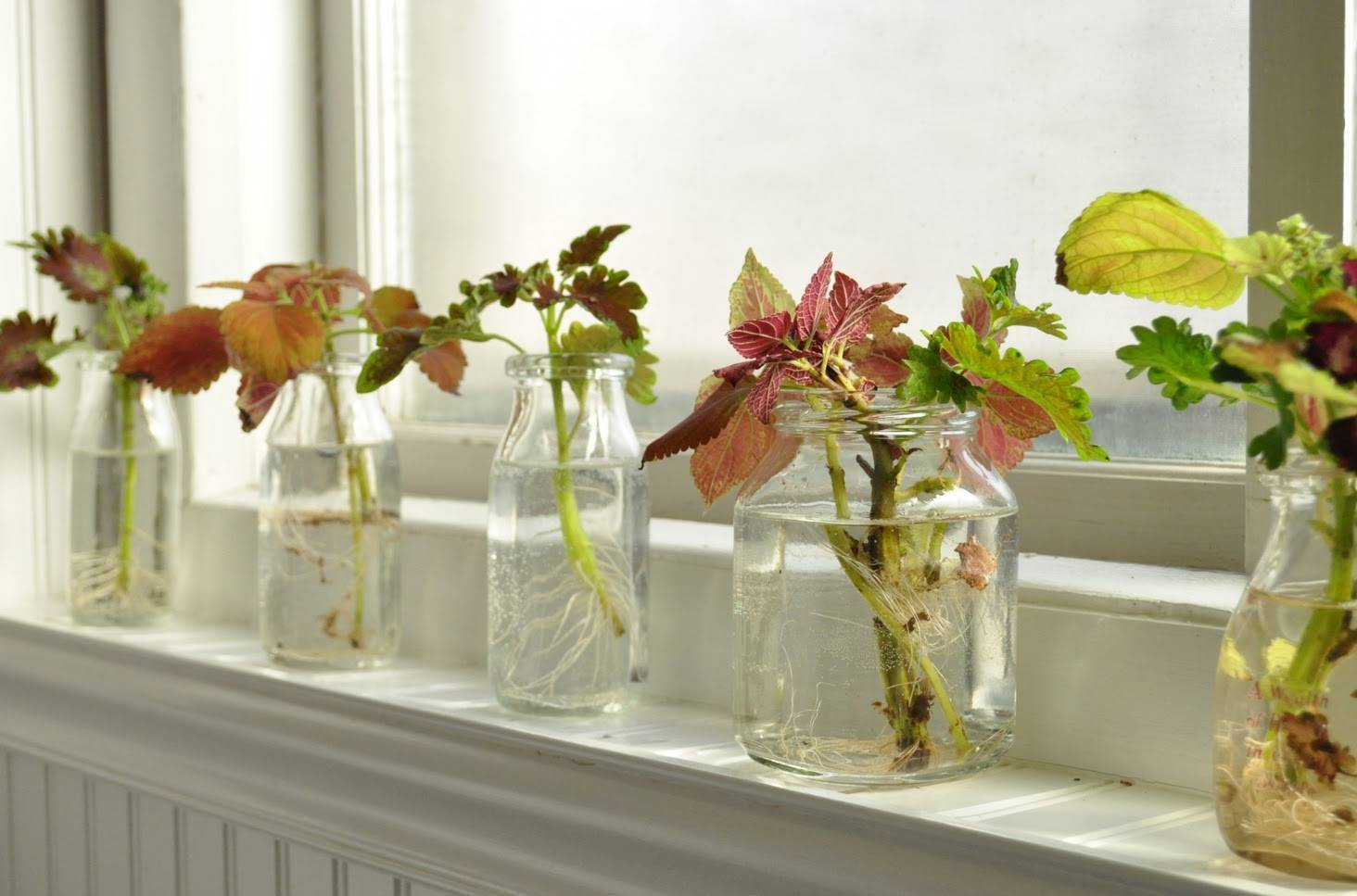 Подробно о выращивании колеуса из семян: когда и как сажать на рассаду пошагово