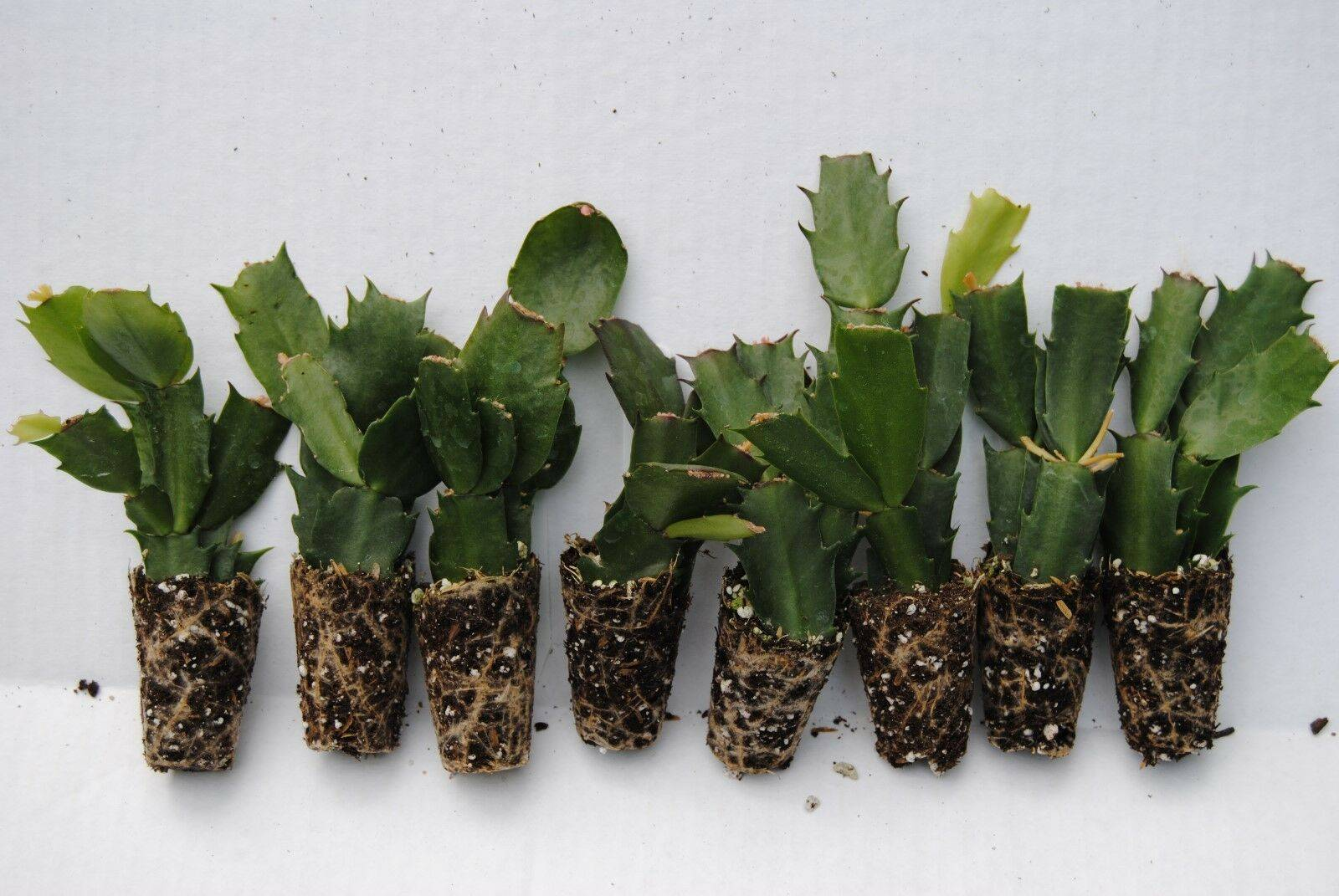 Примеры по уходу за перескией шиповатой, годсеффой и другими видами растения