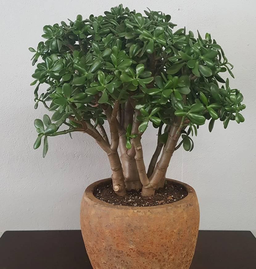 Денежное дерево — как выглядит, можно ли держать дома