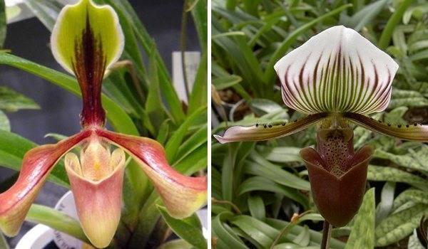 Как выращивать дома венерин башмачок пафиопедилум — изучаем особенности необычной орхидеи