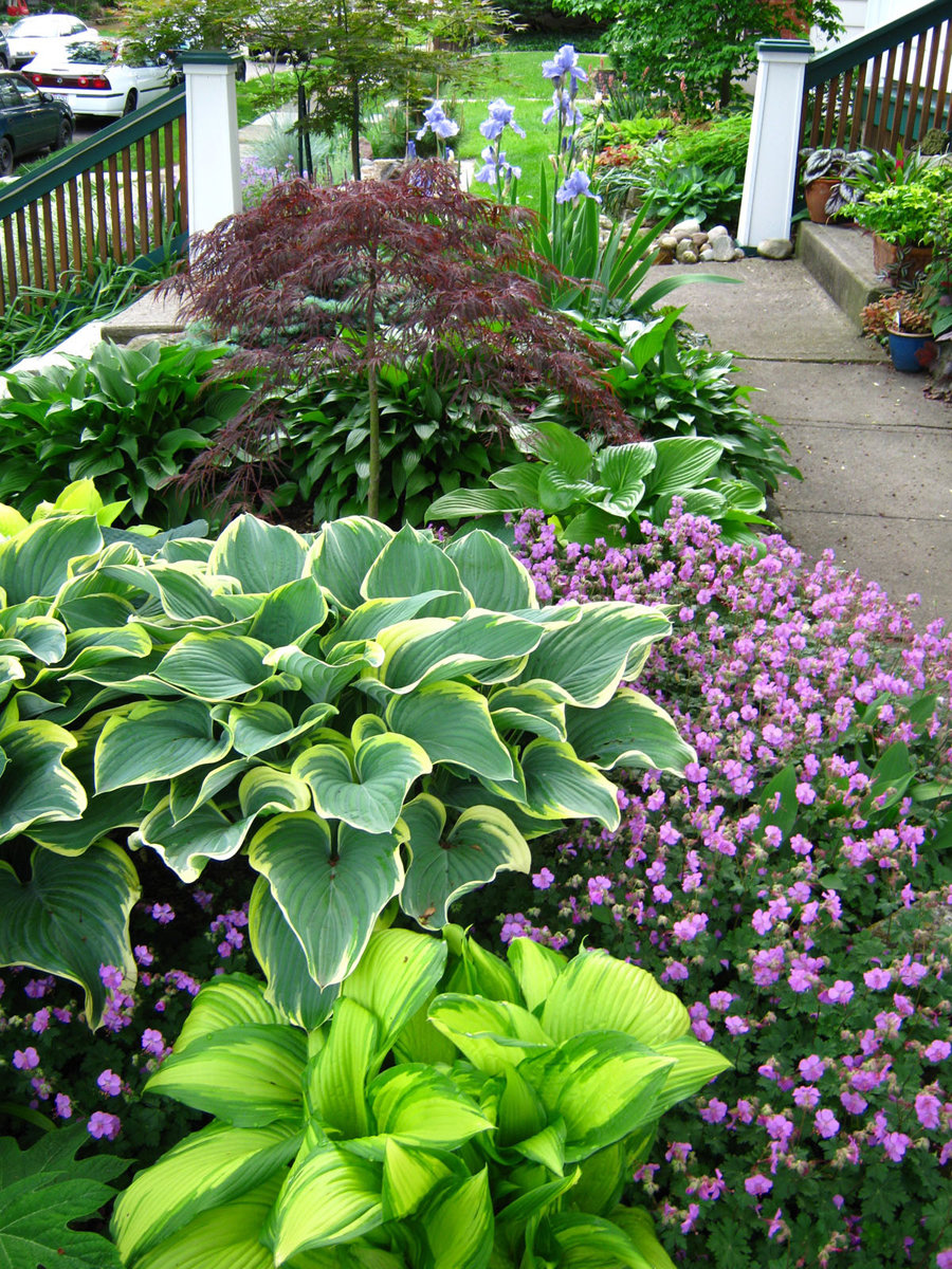 Хосты в саду (58 фото): ландшафтные хитрости по составлению композиций на даче, клумбы, сочетание с гейхерами, астильбами