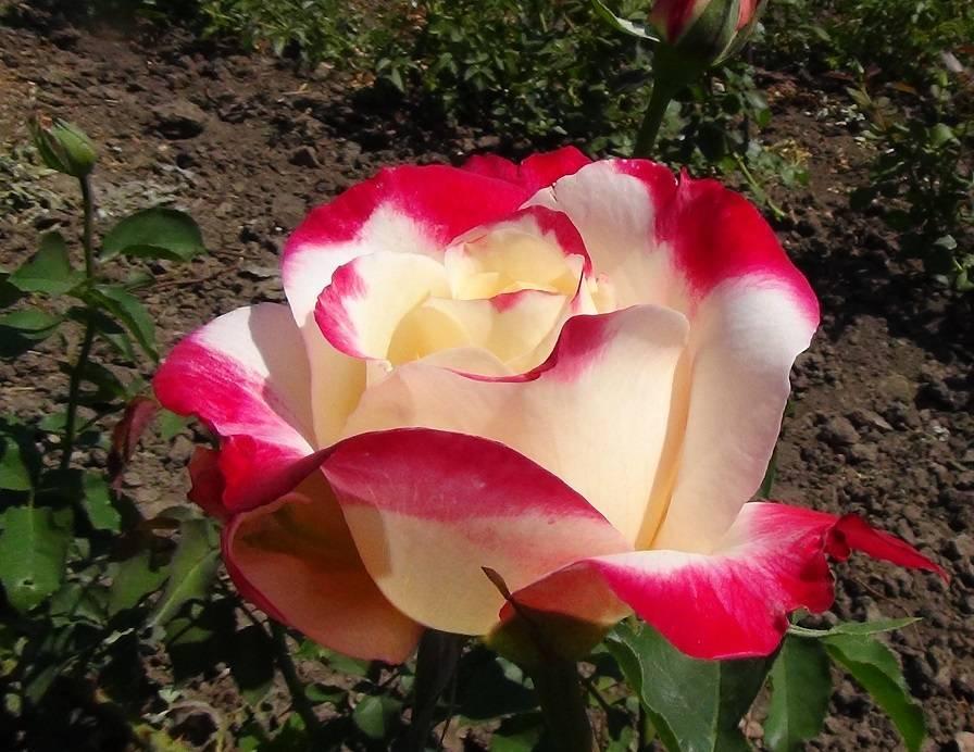 Роза дабл делайт (double delight): фото и описание сорта, история возникновения, особенности цветения, размножения и ухода за растением, а также болезни и вредители