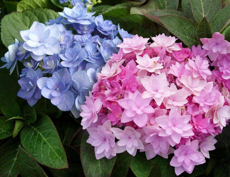 Весенний уход за гортензией (подкормки)