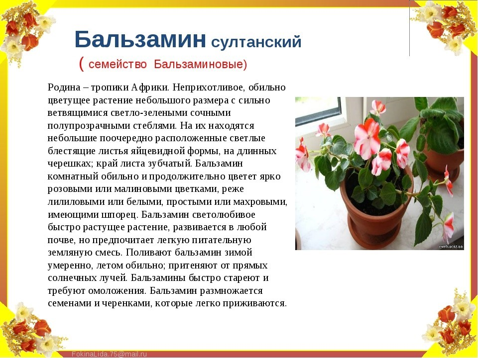 Примеры по уходу за дизиготекой дома: необходимые требования для цветения растения