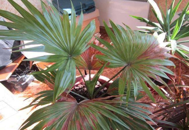Уход в домашних условиях за пальмой ливистона