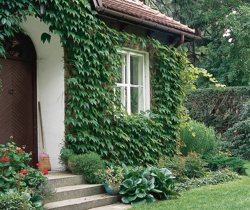 Как посадить мяту на даче — как размножается