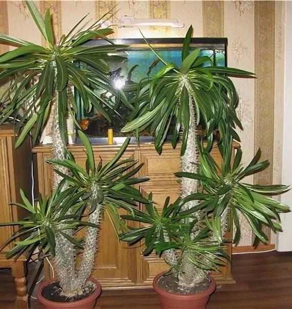 Цветок пахиподиум: уход в домашних условиях, фото, выращивание из семян