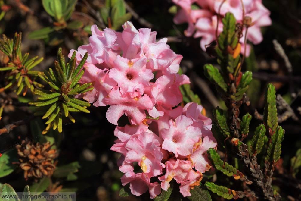 Рододендрон адамса (rhododendron adamsii)