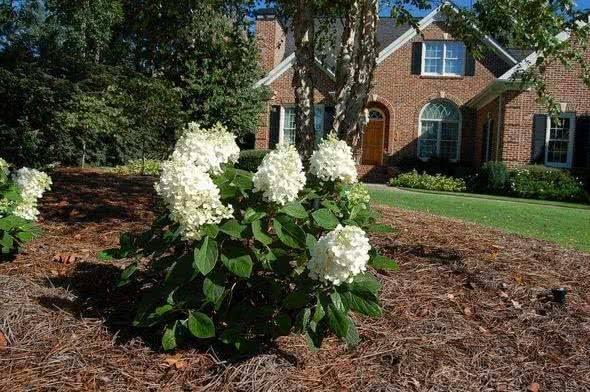 Гортензия садовая: посадка и уход в открытом грунте, особенности выращивания