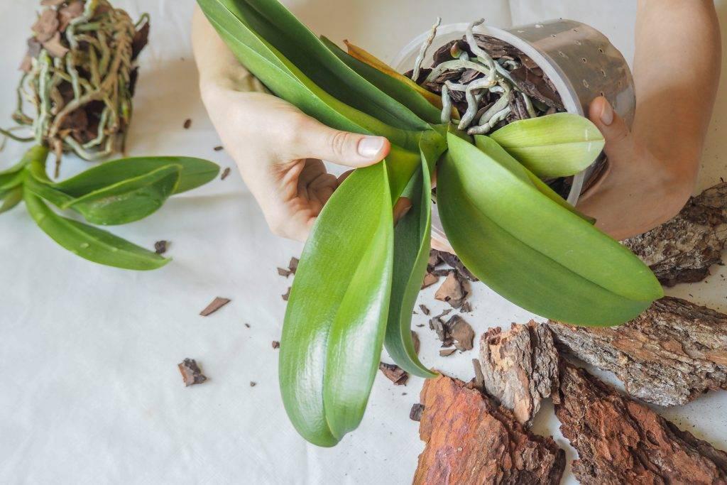 Цветок орхидея каттлея (сattleya)