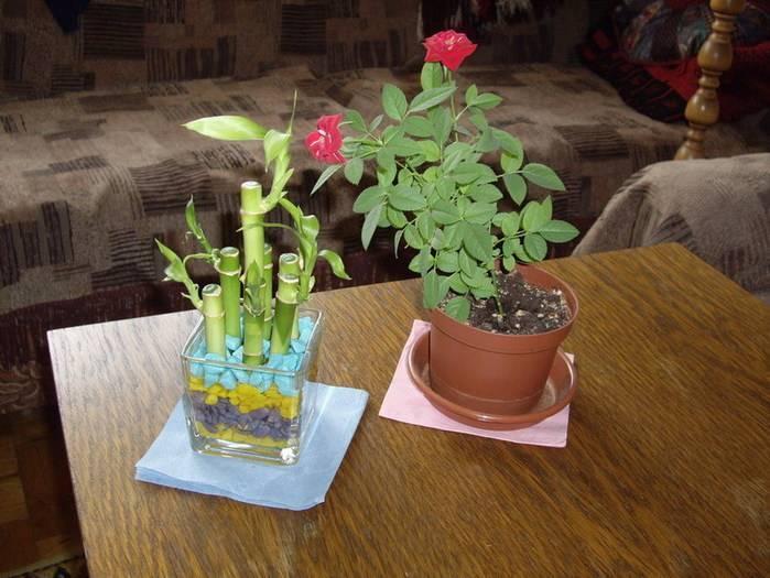 Как вырастить розу дома: уход за розой в домашних условиях