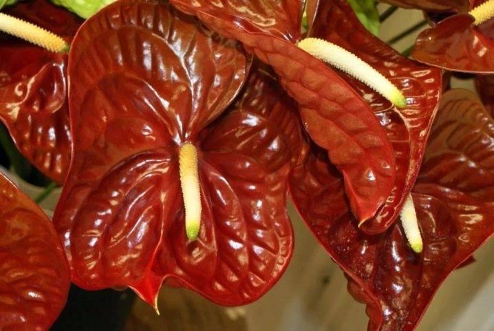 Антуриум — виды и сорта растения с названиями