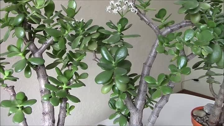 Как цветет денежное дерево в домашних условиях