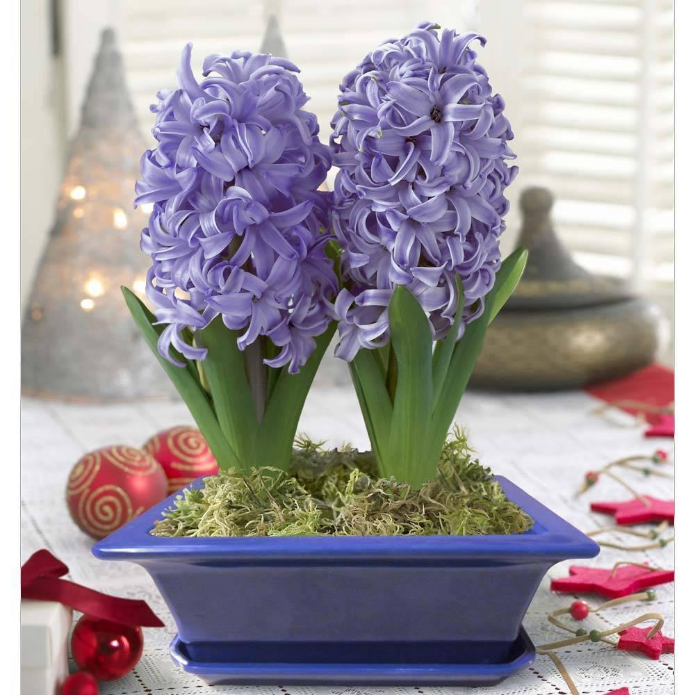 Гиацинты: цветы, растение, уход в домашних условиях