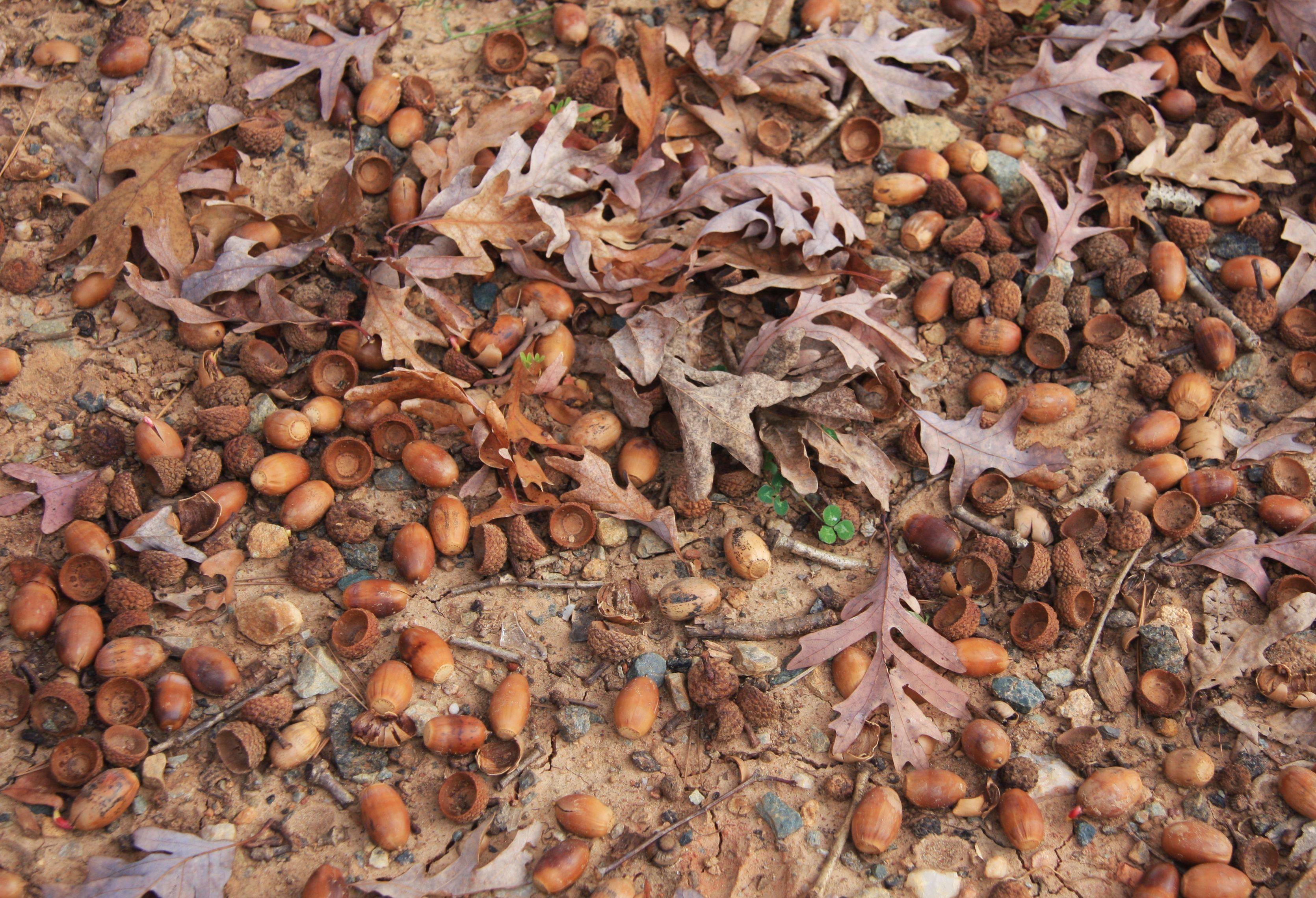 Как сажать желуди: выращивание плода дуба возле дома