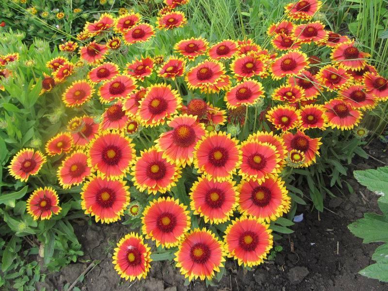 Гайлардия: виды и сорта цветка, размножение растения
