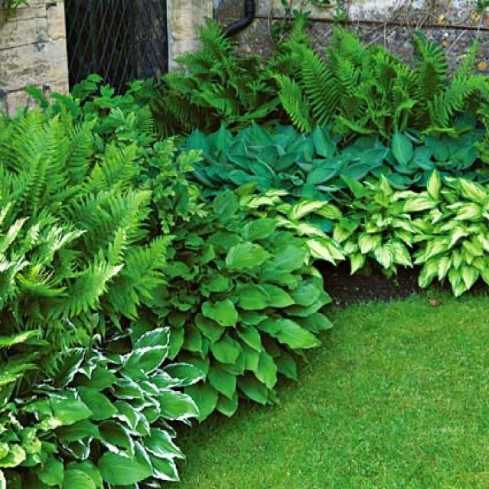 Папоротник (садовый, декоративный, уличный, страусник обыкновенный): посадка и уход в саду