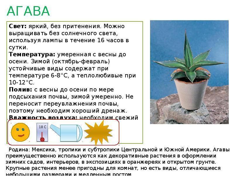 Ирезине цветок: уход в домашних условиях и основные сорта
