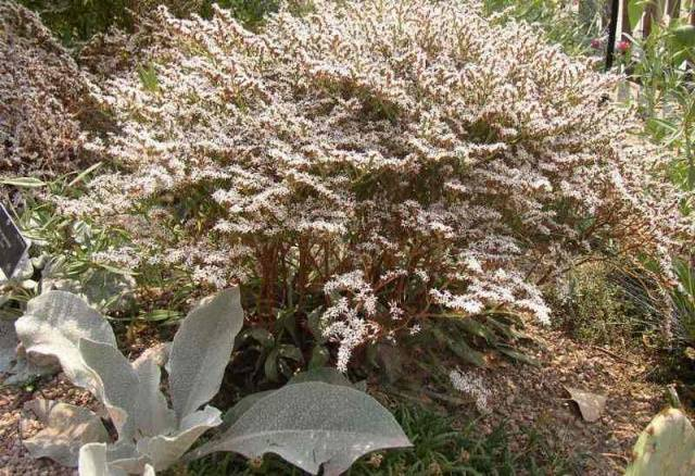 Растение татарский кермек. как вырастить кермек выемчатый для клумбы