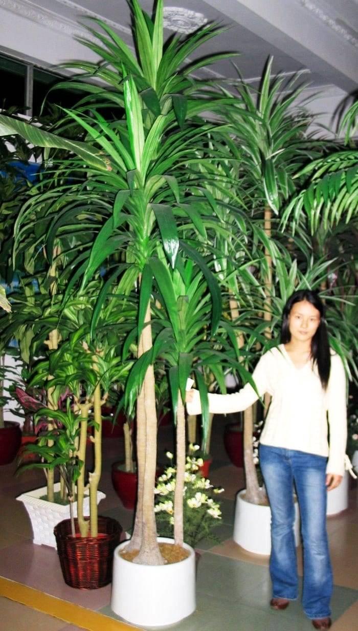Выращивание драцены душистой: как посадить, ухаживать, удобрять, размножать