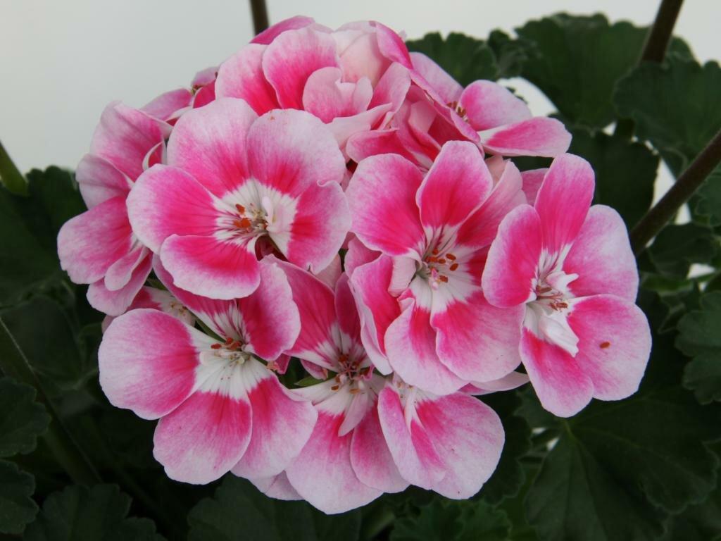 Пеларгония зонартик: внешний вид и особенности растения, сорта, посадка, выращивание и размножение в домашних условиях, а также вредители и болезни