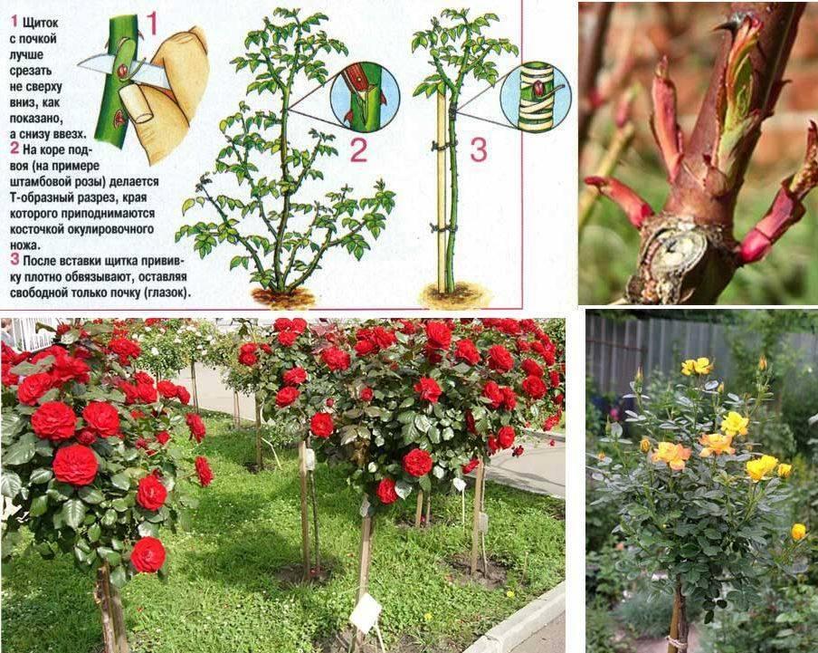 Что делать, если роза превращается в шиповник