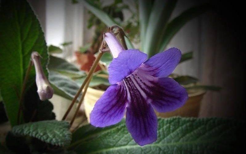 Комнатные цветы с фиолетовыми и красными листьями: названия, описание, уход