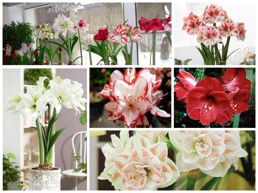 Как отличить амариллис от гиппеаструма по луковице, цветкам и цветоносу