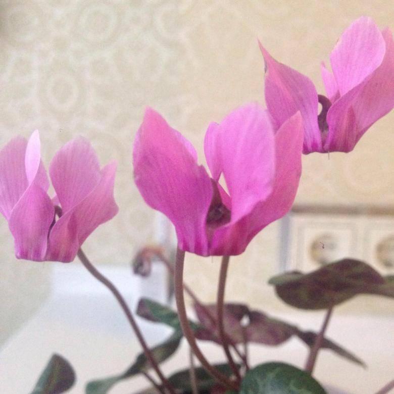Виды цикламенов, размножение ипересадка комнатных цветов, защита отболезней