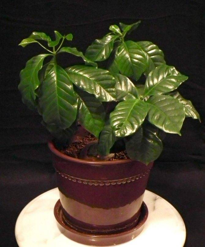 Выращивание кофе «арабика» в качестве комнатного растения: уход