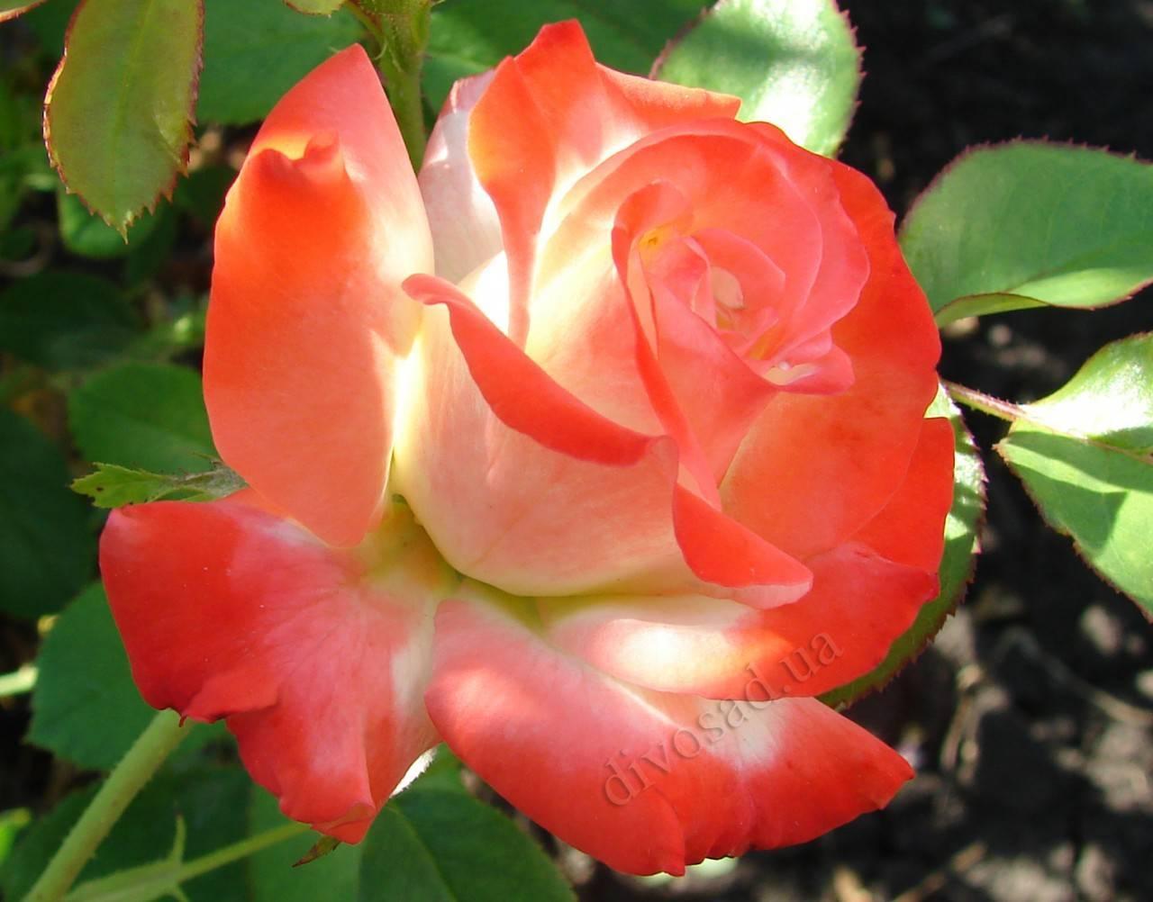 Черный принц — идеально черная роза | о розе