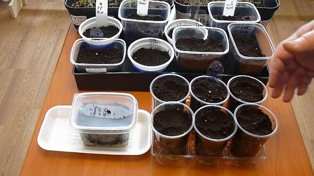Лаванда — выращивание из семян в домашних условиях