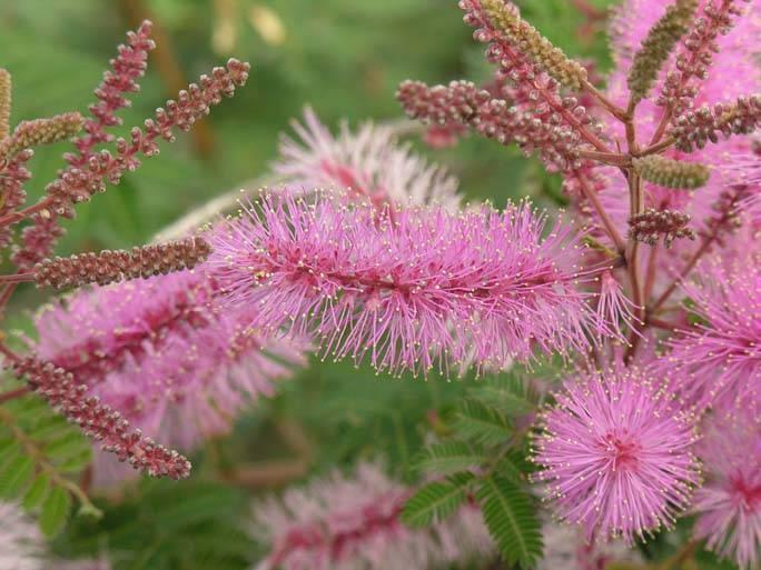 Как и где растет мимоза, цветок это или дерево, виды мимозы стыдливой с фото, выращивание и уход в домашних условиях недотроги