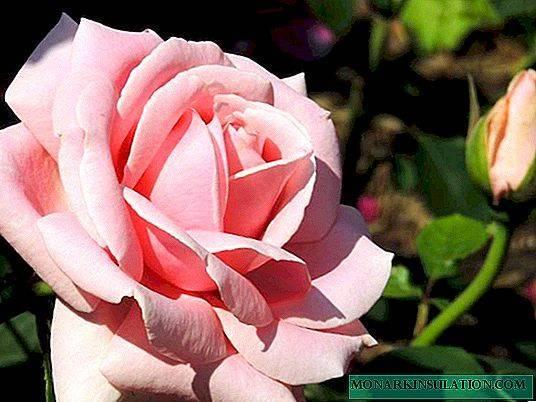 """Роза """"аква"""": описание сорта, особенности, уход и отзывы"""