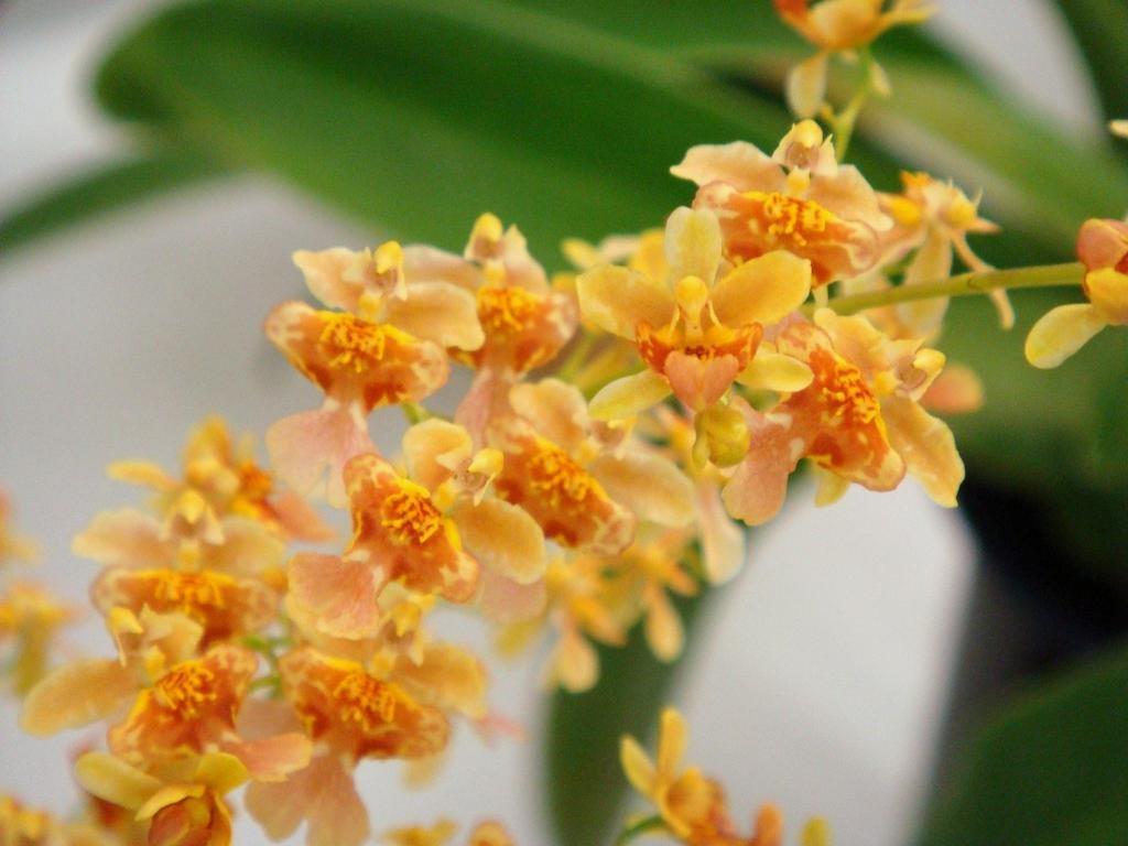Онцидиум: уход в домашних условиях и разновидности цветка