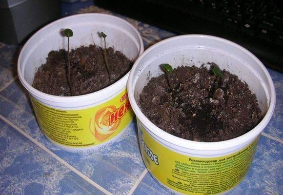 Цикламен: размножение семенами в домашних условиях пошагово, посадка цикламен дома, посадка из клубней