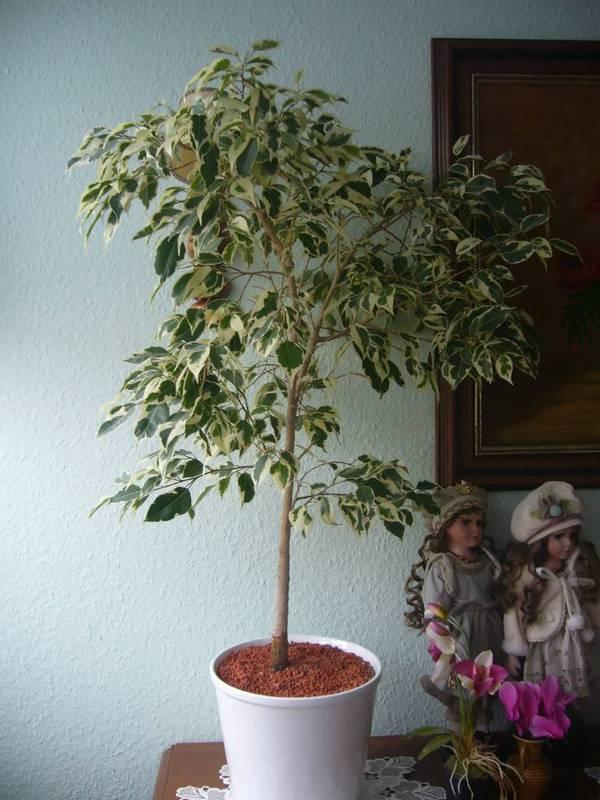 Комнатное растение, похожее на березу в горшке — как называется